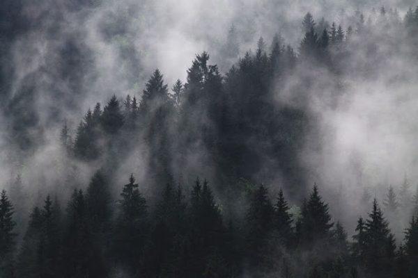 fir-trees-1835402_1280(1)